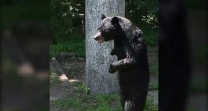 Possible death of New Jersey's bipedal black bear renews anti-hunt protest