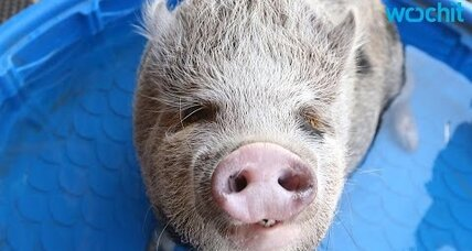 SFO recruits adorable therapy pig to soothe tense travelers