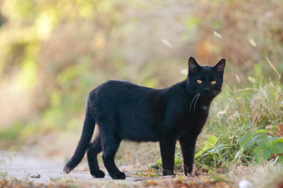 Australia's deadliest invaders: Feral cats?