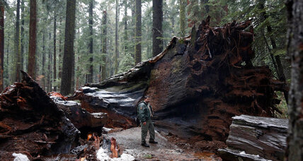 Storm topples California drive-thru tree. Can we save the remaining sequoias? (+video)