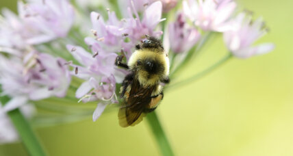 The fight to save the rusty-patched bumble bee and how you can help