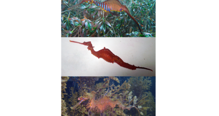 Mysterious seadragon finally spotted alive – and caught on video