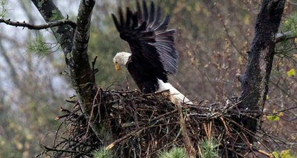 Does the bald eagle's comeback spell bad news for other species?