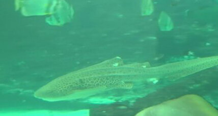 Endangered zebra shark hatches fatherless babies
