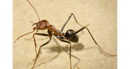 Able navigators: How desert ants know which way to go when walking backward