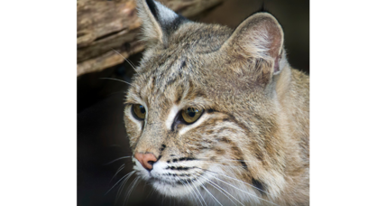 Ollie the bobcat is safely returned: How frequent are zoo escapes?