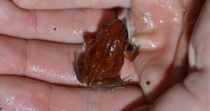 After 54 years, how Zimbabwe's 'cave squeaker' frog was re-discovered