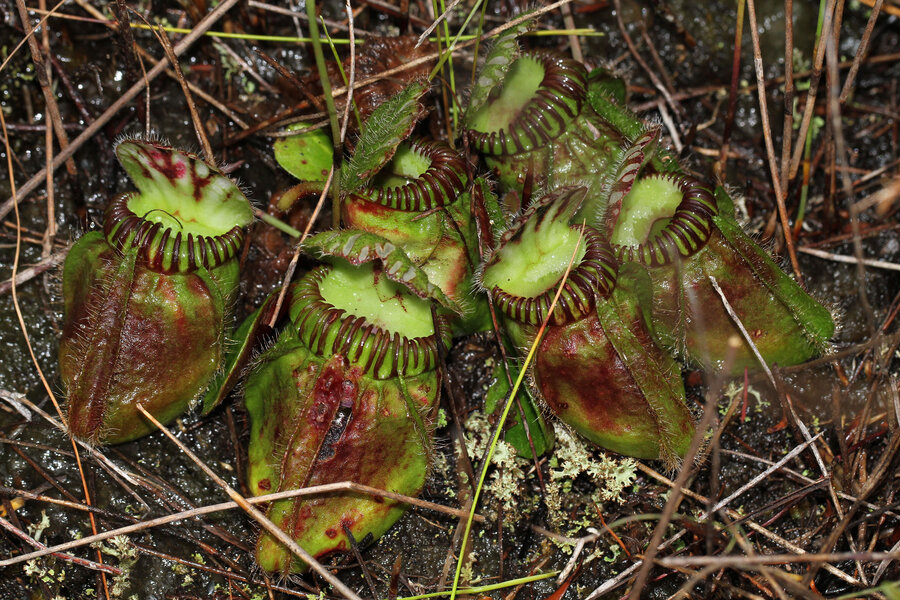Prey or predator? How all pitcher plants came to converge on carnivory