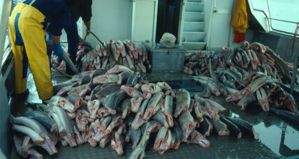 Sharks for supper? Why experts don't want a ban on shark fishing