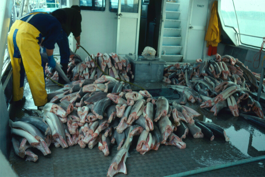 Sharks for supper why experts dont want a ban on shark fishing sharks for supper why experts dont want a ban on shark fishing altavistaventures Images