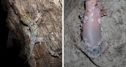 This new gecko species slips out of its scales to evade threats