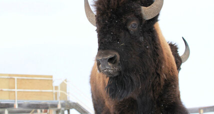 For the first time in 100+ years, Canada's oldest park will be roamed by wild bison