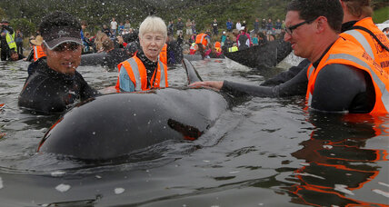 For some of New Zealand's beached whales, a happy return to the sea