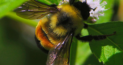 Every day counts: Group sues Trump for stalling rusty patch bumblebee protection