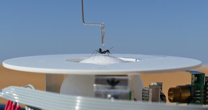 What is this, a treadmill for ants? Study captures info on how ants navigate the desert