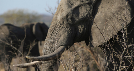 What will it take to keep elephants safe?
