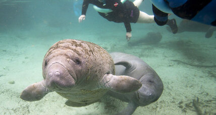 Manatee population rebounds: is it ready to come off the endangered species list?