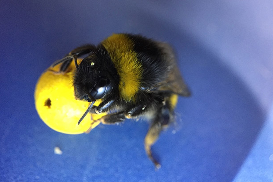 How smart is a bumblebee Smarter than youd think say scientists