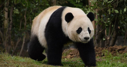 Why are pandas black and white? Science finds clues.