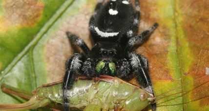 Hungry, hungry spiders eat more than 400 million tons of insects a year