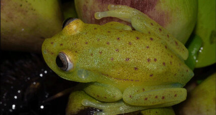 How does this polka dot tree frog glow in the dark?