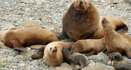 Can crowdsourcing help save the Steller sea lions?