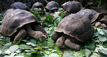 How Galápagos giant tortoises have made a comeback