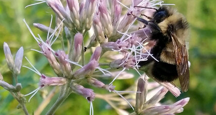 Rusty-patched bee finally gets its endangered listing