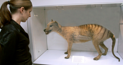 Decades after extinction declaration, hunt for Tasmanian tiger resumes