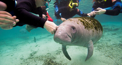 Manatees get 'downlisted' from 'endangered' to 'threatened.' Why are environmentalists angry?