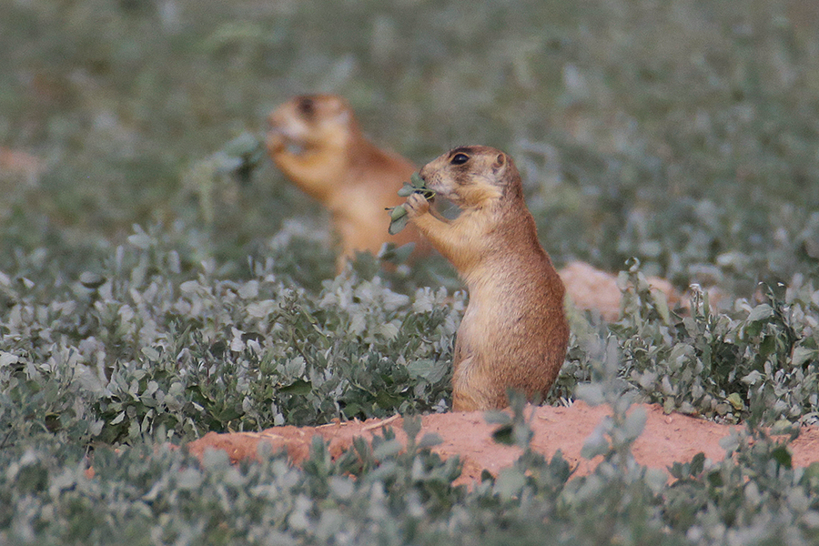 Prairie dogs win major victory in court - CSMonitor.com