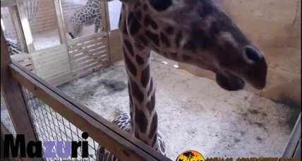 How this giraffe mom captivated the world