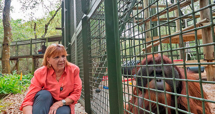 Rescued chimpanzees and orangutans: This woman's lifework is caring for them