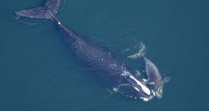 How a better rope could help save the endangered right whale