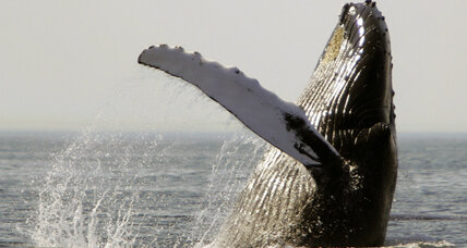 Despite recovery, humpback whales still suffer from ship strikes