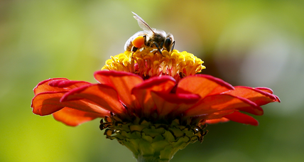 Buzzworthy: How you can help America's pollinators