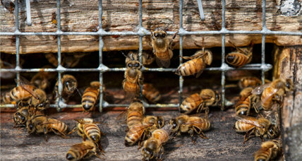A glimmer of hope for honeybee populations