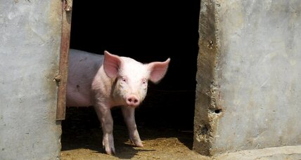 Millions of pigs will soon live better lives in China