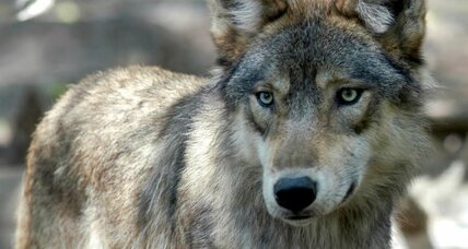 Court gives back endangered status to Great Lakes wolves