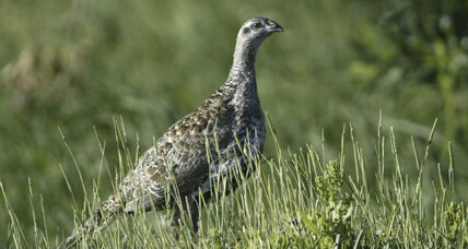 Battle of the sage grouse returns: states could dictate protection efforts