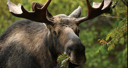 Of moose and man