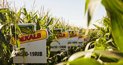 Global corn surplus stems from rapid scientific advancements