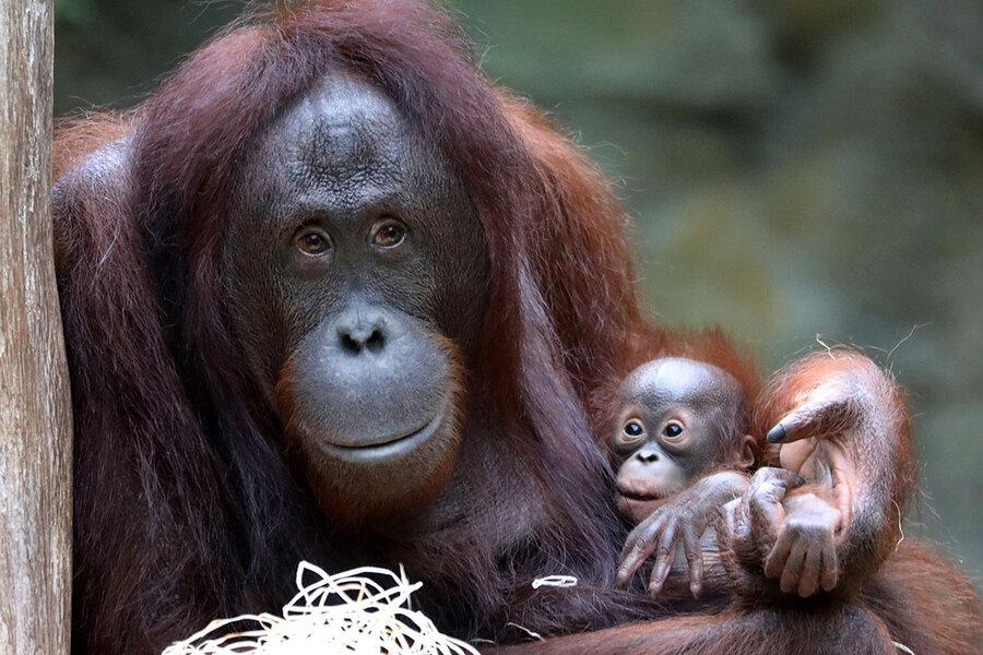 В Калининградском зоопарке орангутаны