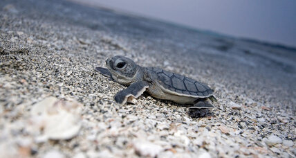 Conservation success: Buoyed hopes for sea turtles