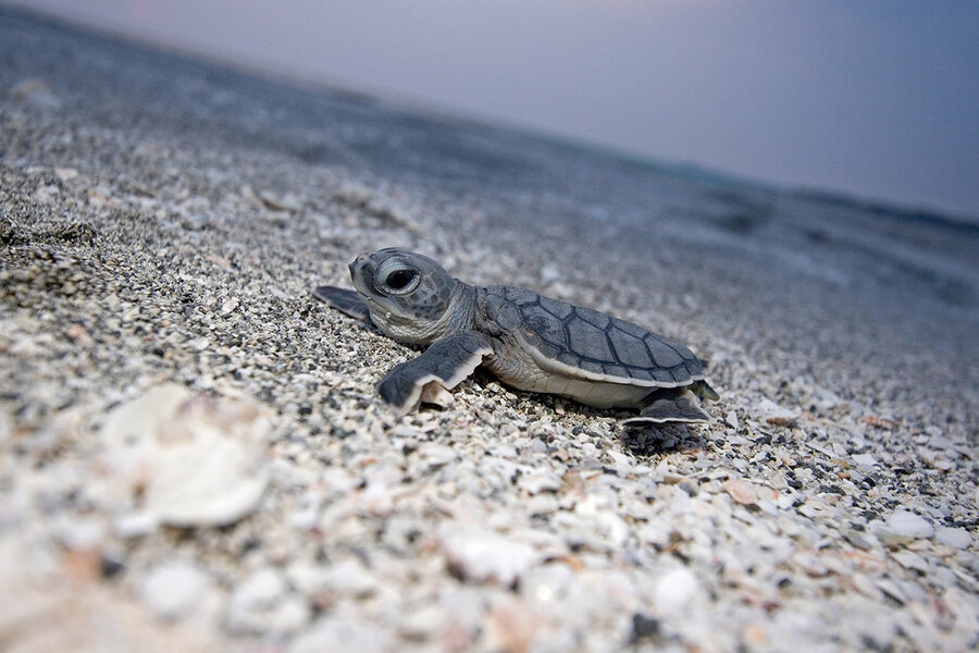 conservation success buoyed hopes for sea turtles csmonitor com