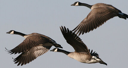 Geese find sanctuary in cities