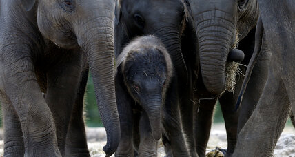 A steady forward march for captive elephants