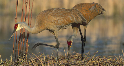 As bird lovers rejoice the sandhill crane's return, hunters eye the 'ribeye of the sky'