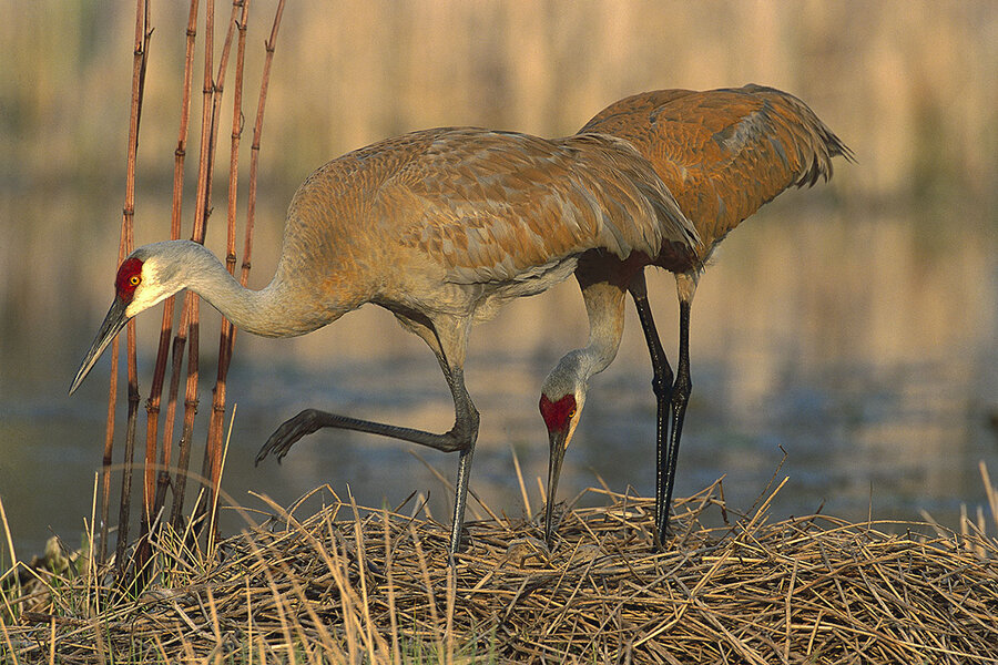 As Bird Lovers Rejoice The Sandhill Cranes Return Hunters Eye The