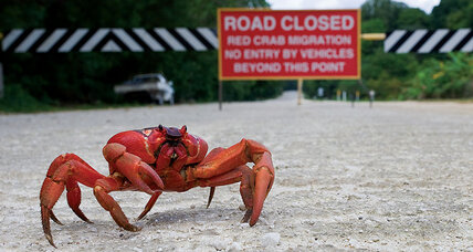 Meanwhile... On Christmas Island, millions of red crabs are making their annual migration to the Pacific Ocean